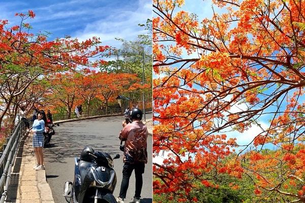 Mê mẩn con đường hoa phượng đỏ ở phố biển Vũng Tàu