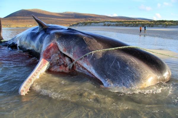 Cá voi chết với 100kg rác trong bụng