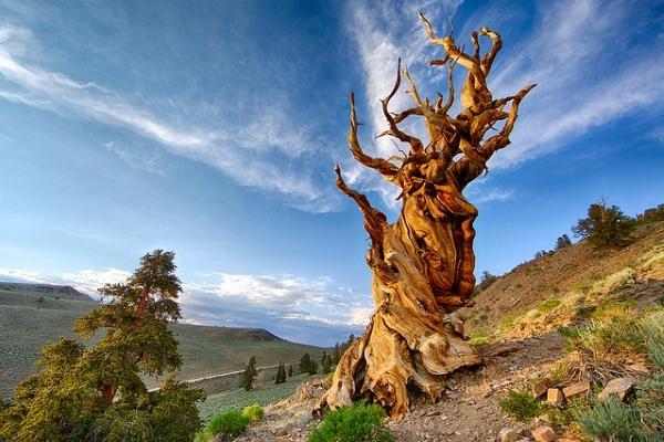 Bí ẩn hai cây cổ thụ lâu đời nhất thế giới