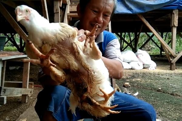 Phát hiện gà 4 chân quý hiếm có giá gần 87 triệu đồng