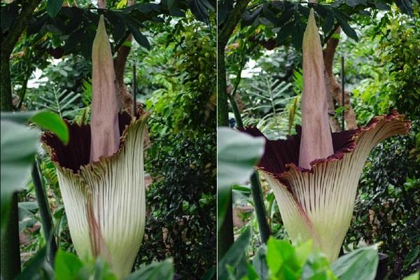 Vườn bách thảo livestream hoa xác thối khổng lồ bung nở