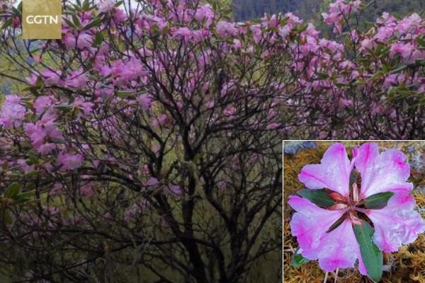 Phát hiện lại loài hoa đỗ quyên 'đã tuyệt chủng'