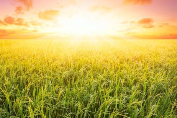 Trung Quốc biến đổi gen lúa tăng năng suất 20%