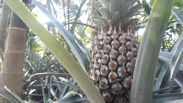 Cù lao Tắc Cậu - vị ngọt trên đất Kiên Giang